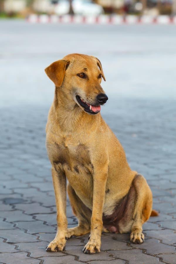 Zitting van de Pooch de gele hond op tegel op straat royalty-vrije stock foto's