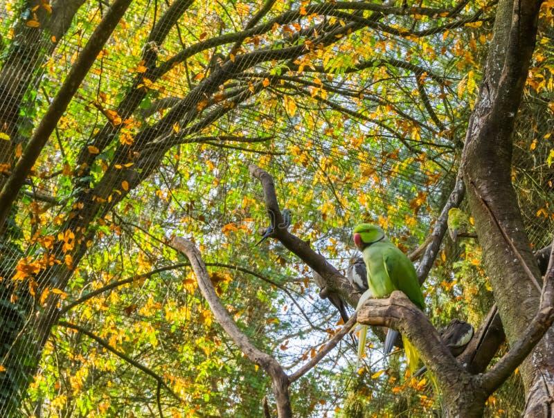 Zitting van de rings necked parkiet op een boomtak met andere vogels op de achtergrond, Populair huisdier in aviculture van Afrik stock fotografie