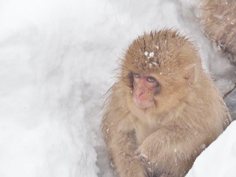 Zitting van de de Sneeuwaap van baby de Japanse macaque op de sneeuw royalty-vrije stock afbeelding