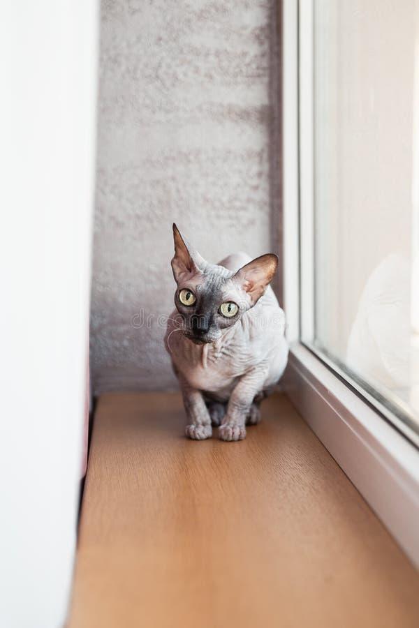 Zitting van het Sphynx de Canadese kale katje dichtbij een groot helder venster royalty-vrije stock foto