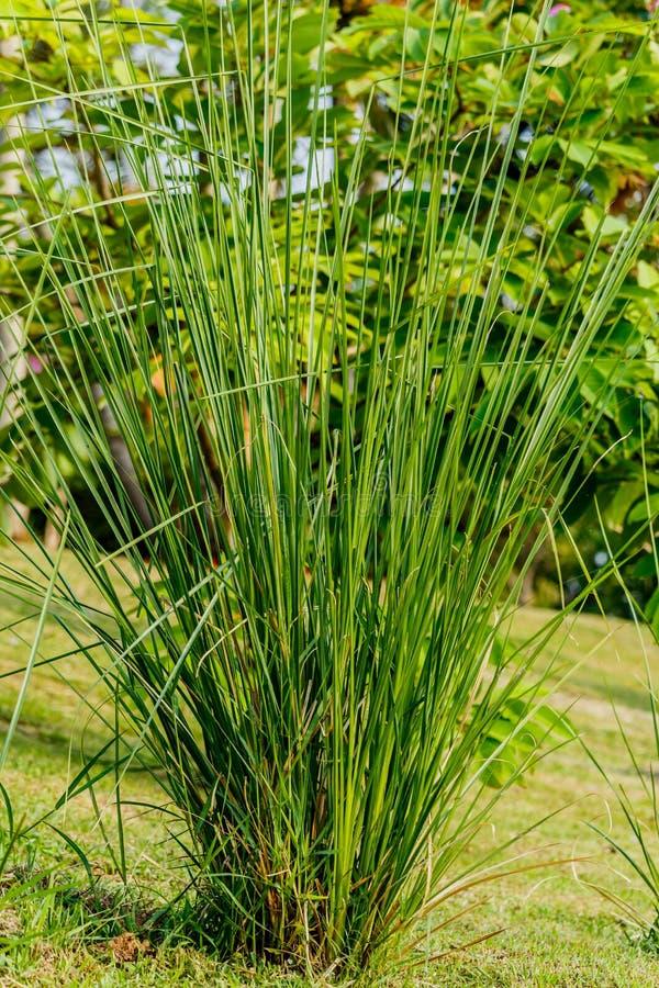 Zizanioides de la hierba o de Vetiveria del vetiver imagen de archivo libre de regalías