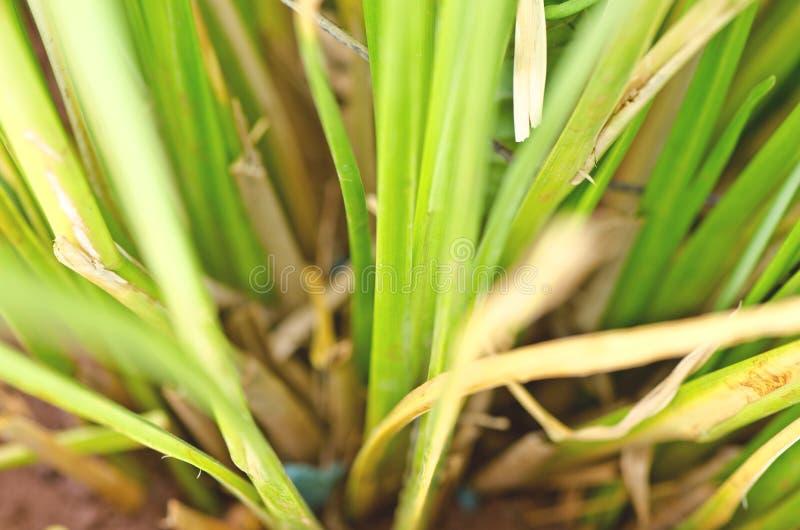 Zizanioides de Vetiveria de la hierba del vetiver imagen de archivo libre de regalías