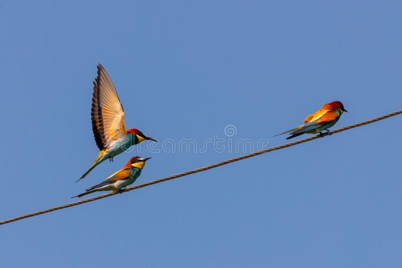 Zjadacz, Europejscy zjadaczów ptaki na drucie obraz royalty free