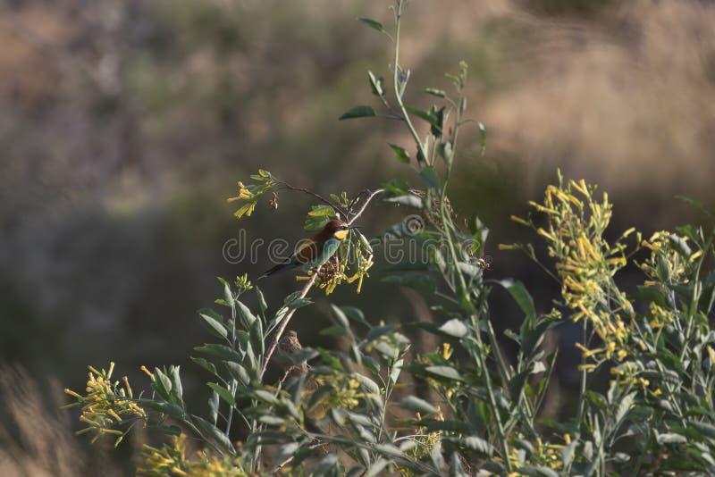 Zjadacz, Meropidae odpoczywa w krzaku i w locie nad ogród w ciborze fotografia royalty free