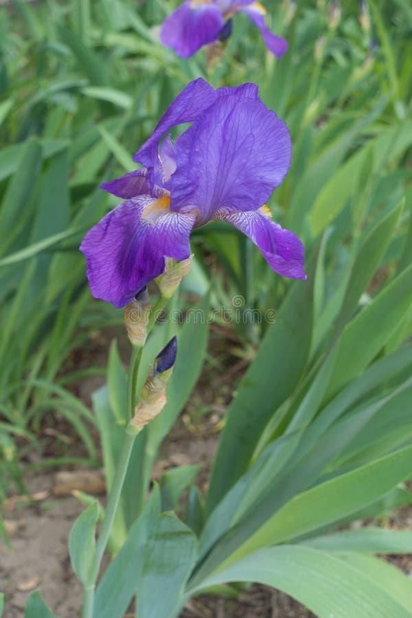 Zjeżony trzon brodaty irys z fiołkowym kwiatem fotografia stock