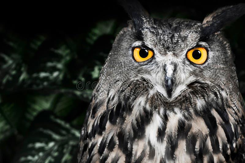 Zli oczy Eagle sowa, dymienicy dymienica fotografia stock