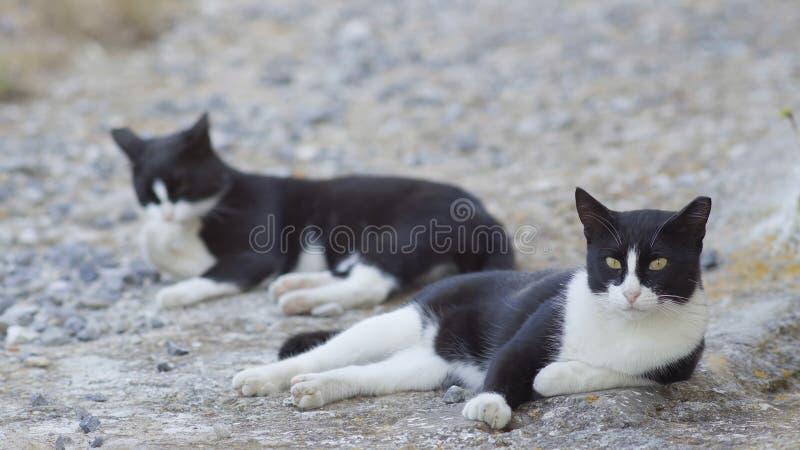 Zmęczeni czarny i biały przybłąkani koty zdjęcie royalty free