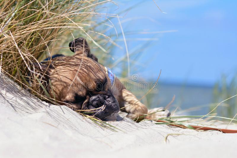 Zmęczony źrebię Francuskiego buldoga pies z czerni maski dosypianiem na piasek plaży na wakacje fotografia stock