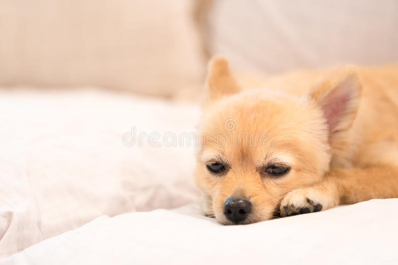 Zmęczony i śpiący pomeranian pies obraz stock