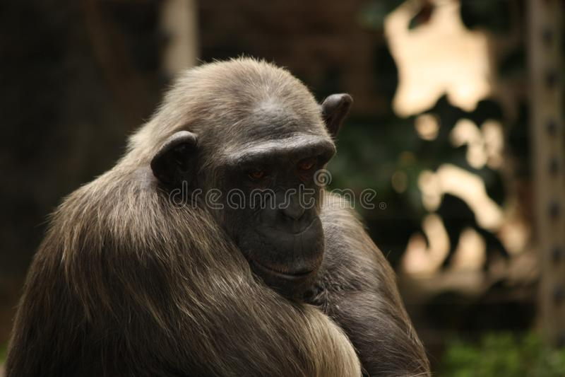 Zmęczony i smutny szympansa portret obraz stock