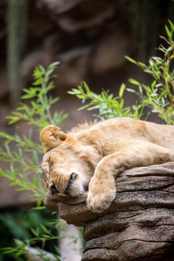 Zmęczony lwicy dosypianie na skale obraz stock