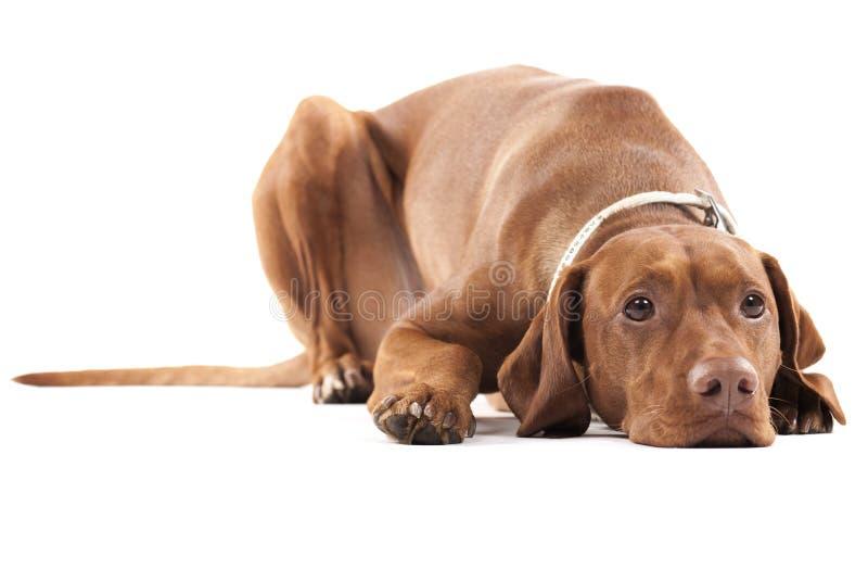Zmęczony pies. zdjęcia stock