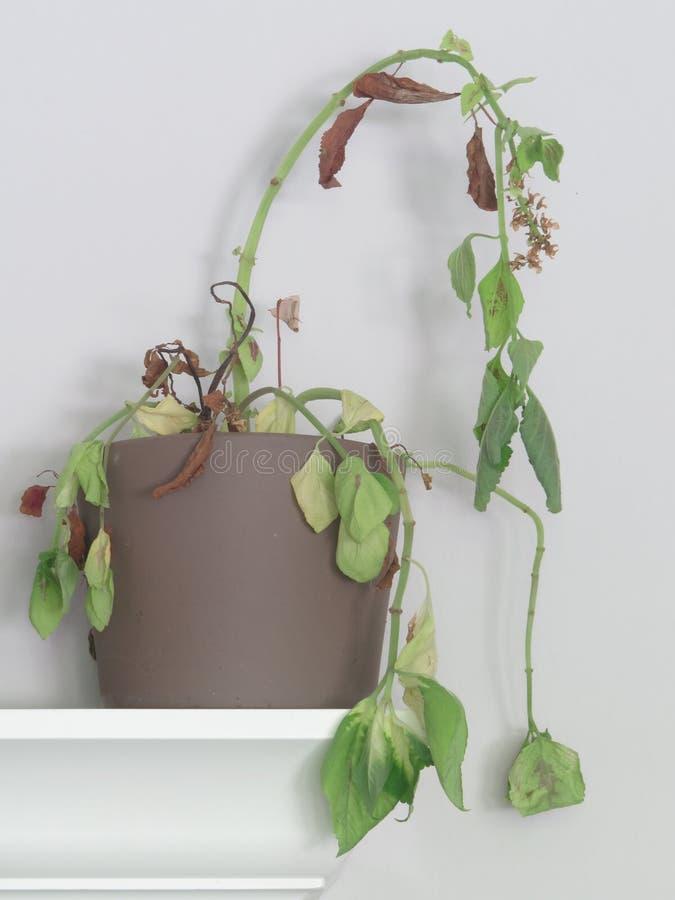 Zmarniała coleus roślina na półce obraz royalty free