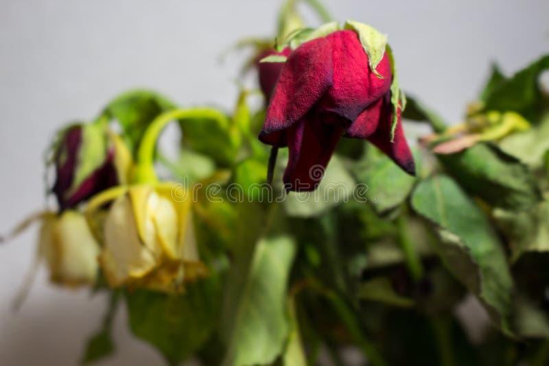 Zmarniała czerwieni i bielu róża na popielatym tle zdjęcie royalty free