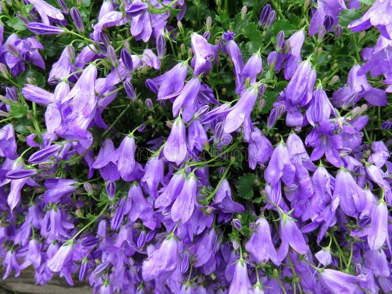 Zmarniała purpura Kwitnie w Maju w wiośnie zdjęcia stock