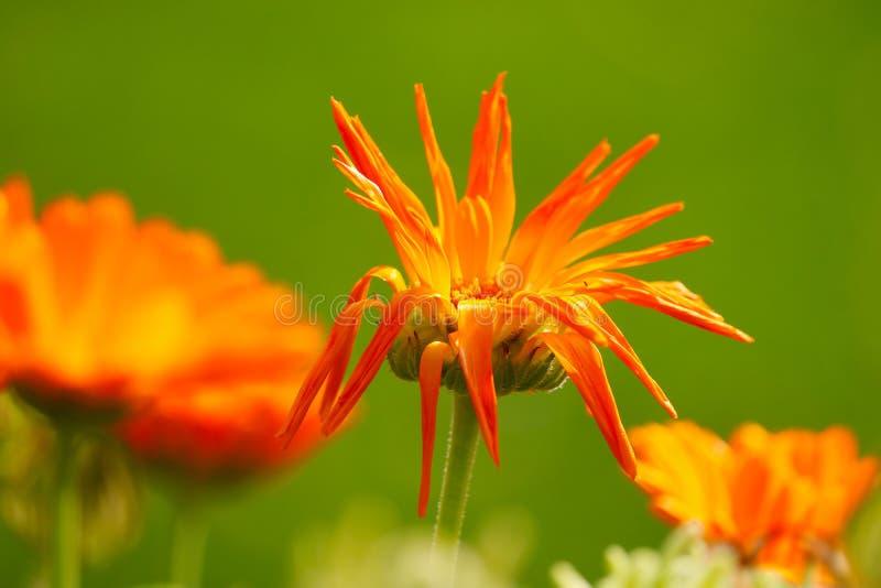 Zmarniały kwiatu okwitnięcie fotografia royalty free