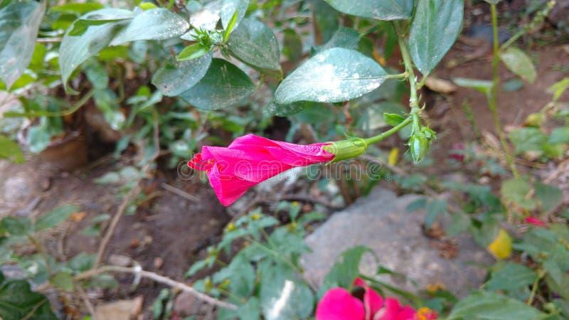 Zmarniały poślubnika kwiat obraz royalty free