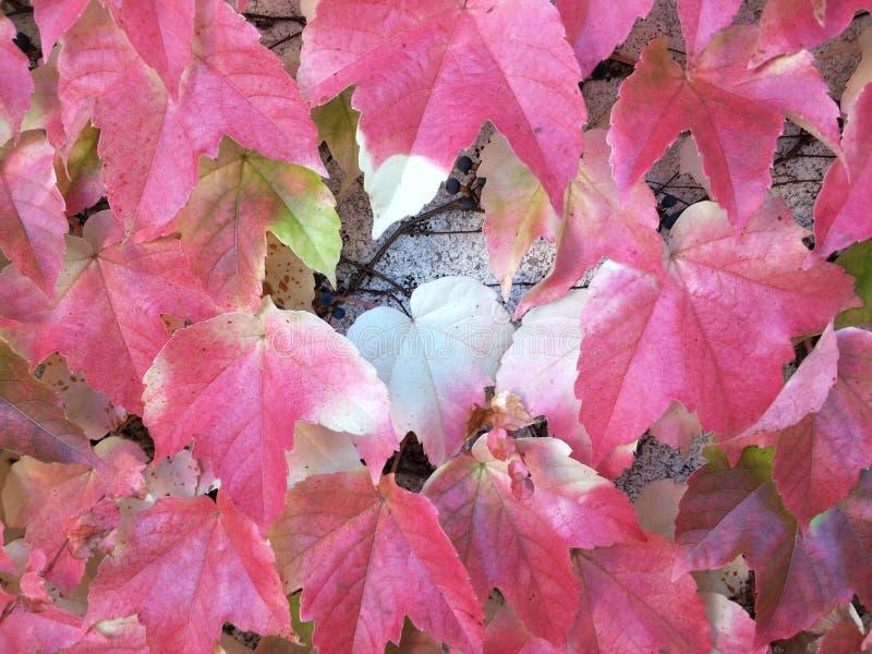 zmiana sezonu jesiennego czerwonych liści obraz royalty free