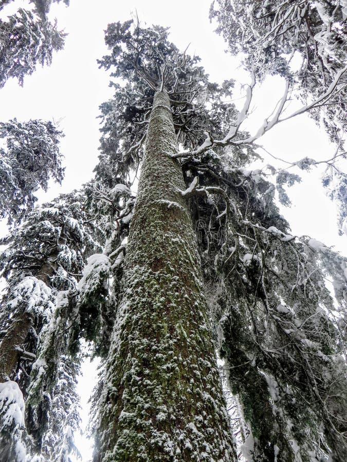 Zmielona perspektywa ogromny cedrowy drzewo zakrywający w śnieżnym dojechaniu w kierunku nieba zdjęcia stock