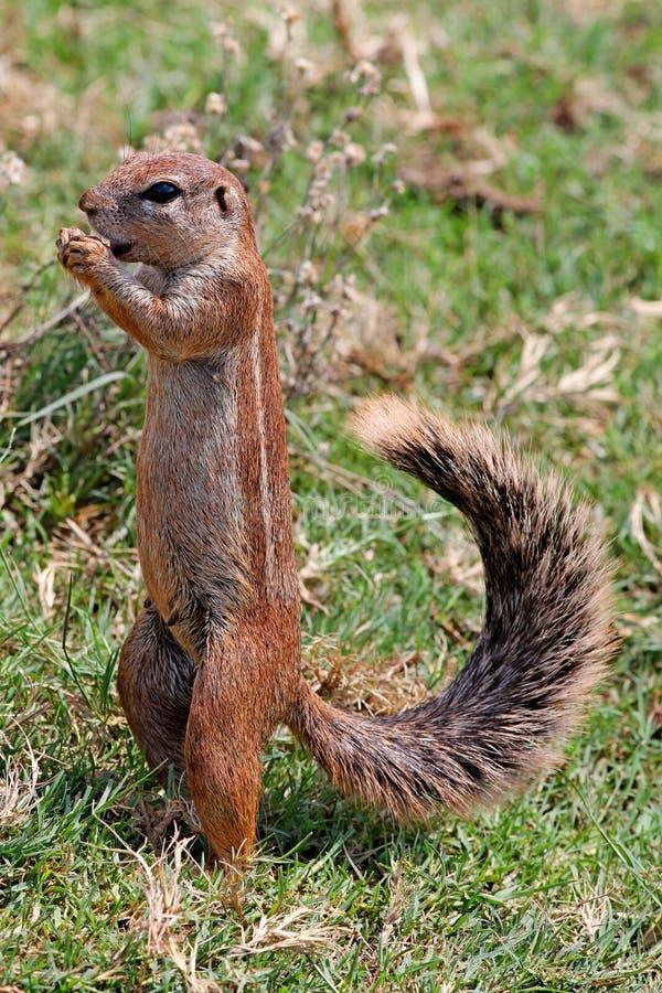 Zmielona wiewiórka - ślepuszonki Sciuridae zdjęcia stock