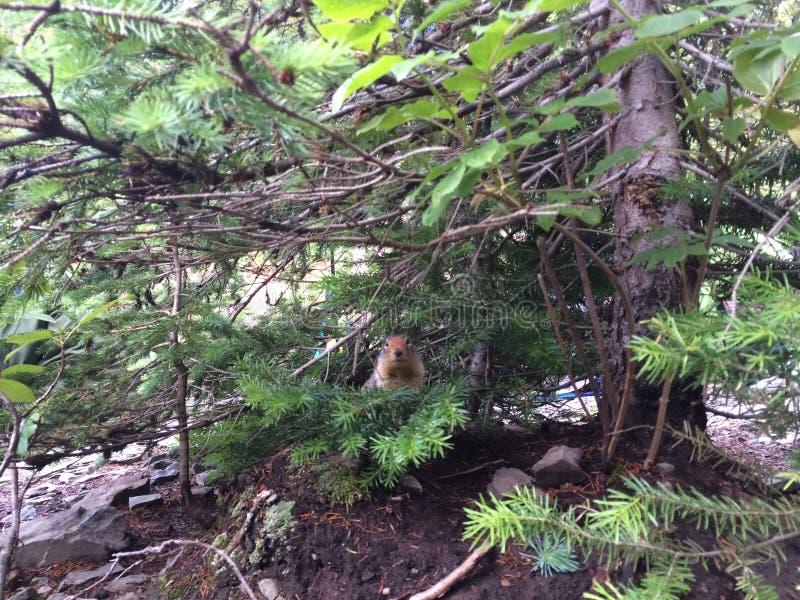 Zmielona wiewiórka zdjęcia royalty free