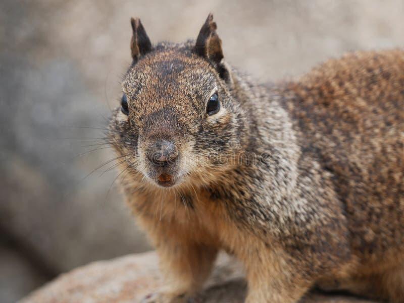 Zmielona wiewiórka obrazy stock