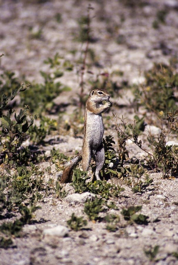 Zmielona wiewiórka, Etosha fotografia royalty free