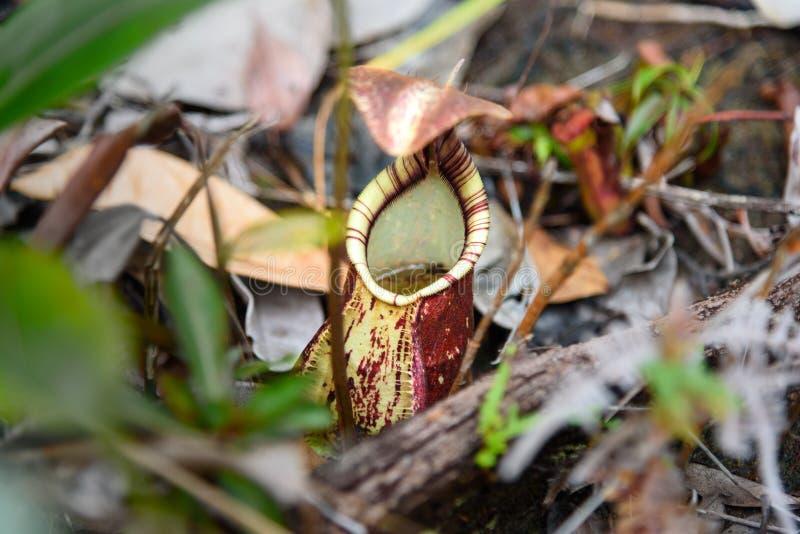 Zmielony miotacz, dzbanecznika ampullaria fotografia royalty free