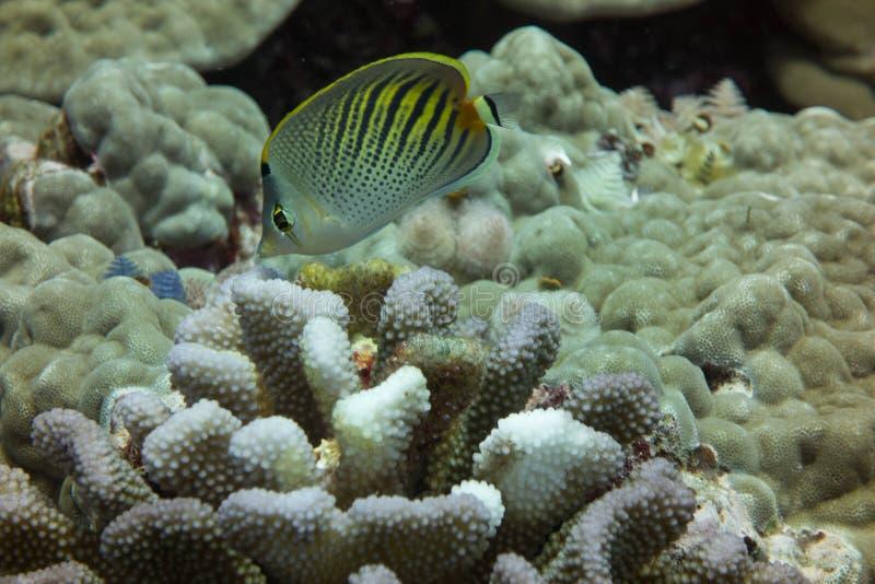 Zmierzchów Butterflyfish obrazy royalty free