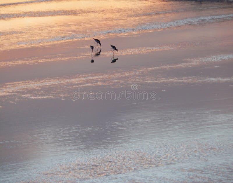 Zmierzchów ptaki obrazy royalty free