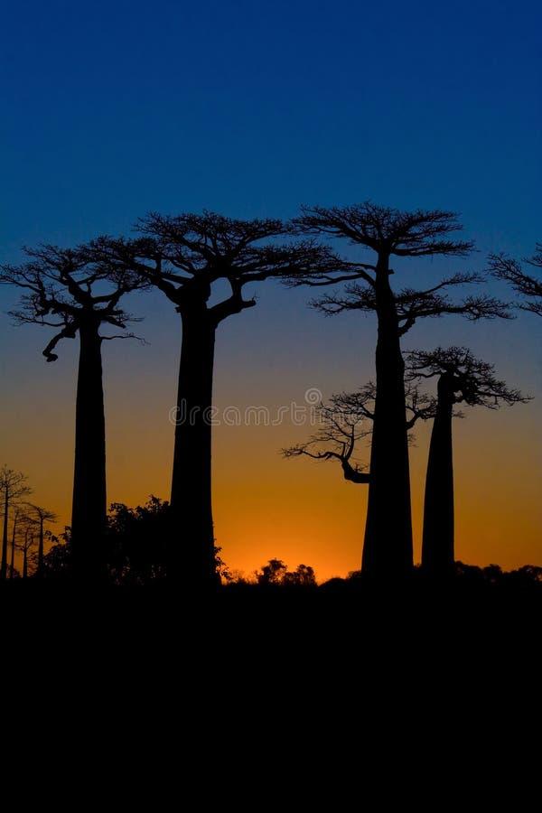 Zmierzch na baobabów drzewach zdjęcie stock