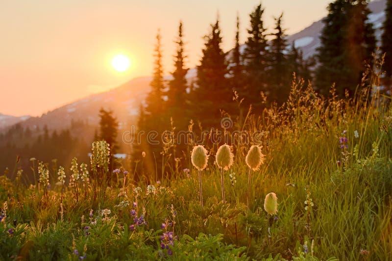 Zmierzch na Mt Dżdżystych i wysokogórskich kwiatach fotografia stock
