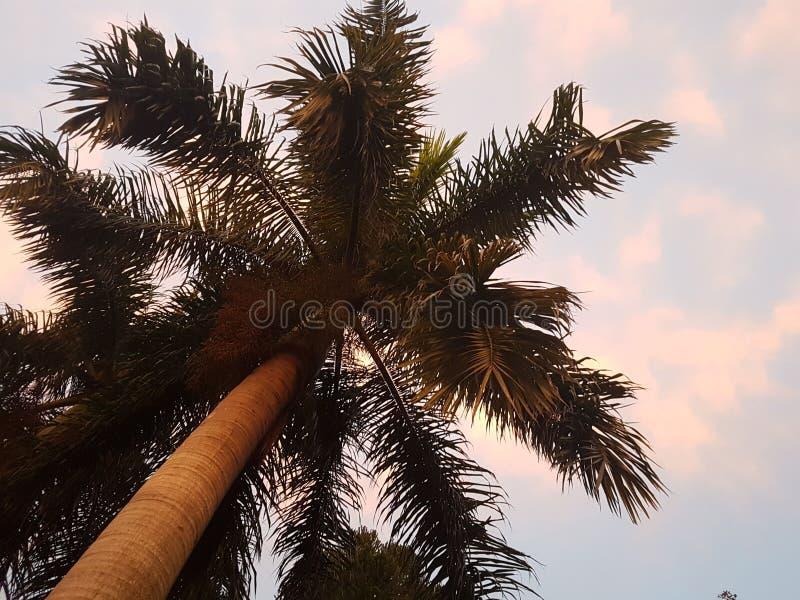 Zmierzch na pastelowym niebie z drzewkiem palmowym zdjęcia royalty free