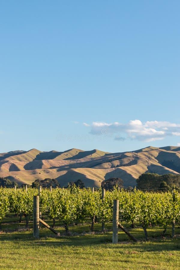 Zmierzch nad Nowa Zelandia winnicą obrazy stock