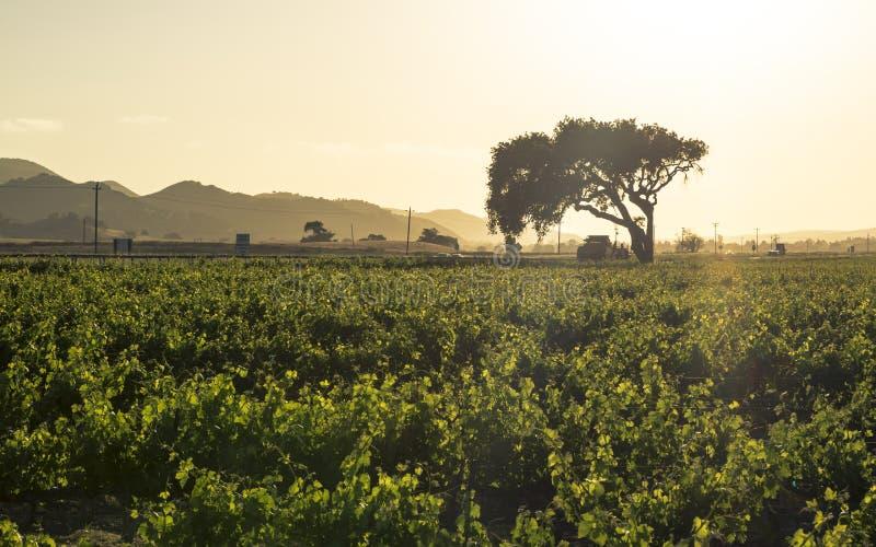 Zmierzch nad rzędami luksusowi winnicy na zboczu, Napy dolina zdjęcie stock