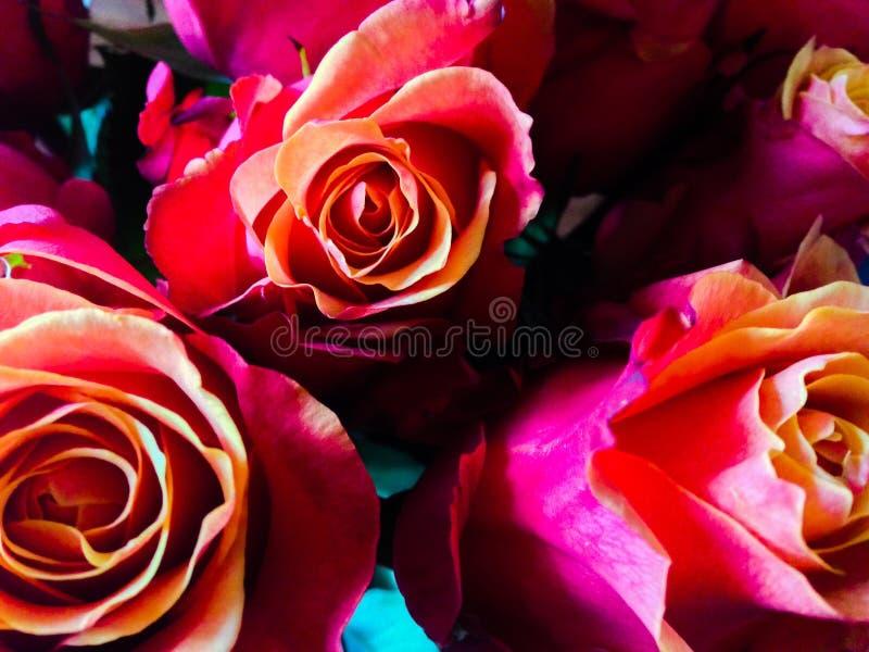 Zmierzch róże zdjęcia stock