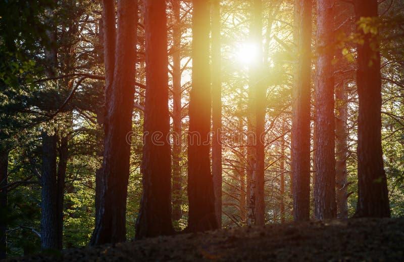Zmierzch synklina drzewa w lesie fotografia royalty free