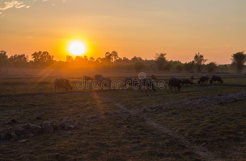 Zmierzch w kraju polu z bizonami pasa, p??nocno-wschodni Tajlandia, Azja obrazy stock