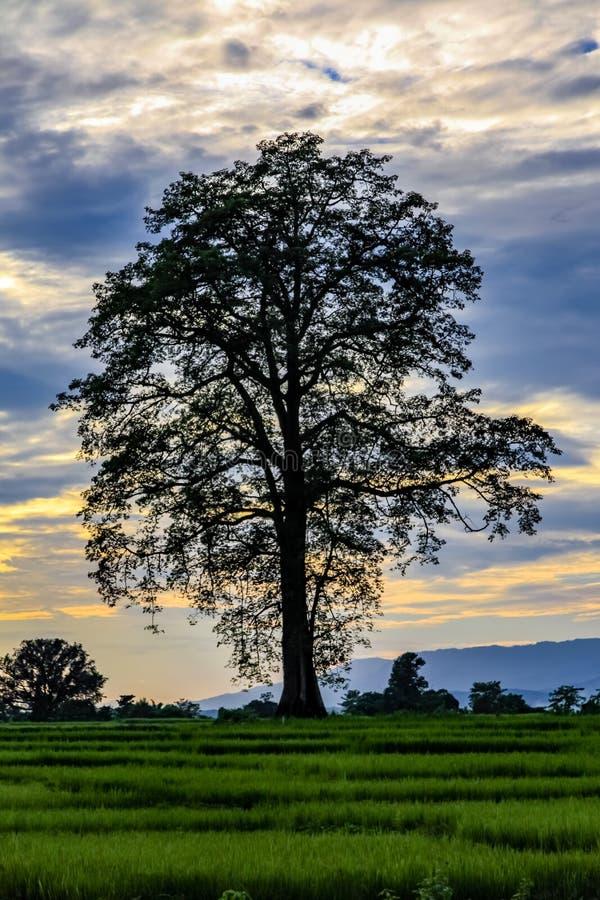 Zmierzch z błękitem między chmurami i sylwetką ogromny jedwabniczej bawełny drzewo w Chitwan wiosce obrazy stock