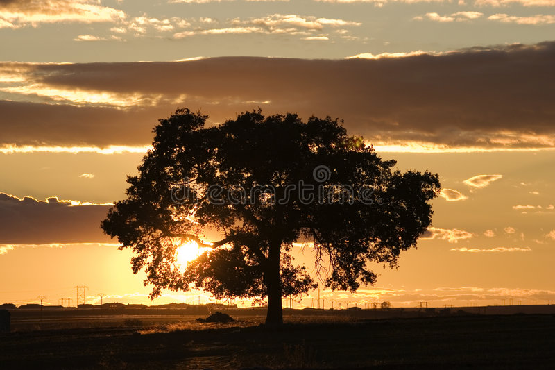 zmierzchu dębowy drzewo obraz stock