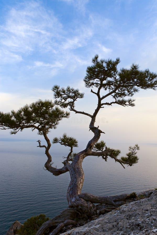 zmierzchu jałowcowy osamotniony drzewo obraz royalty free