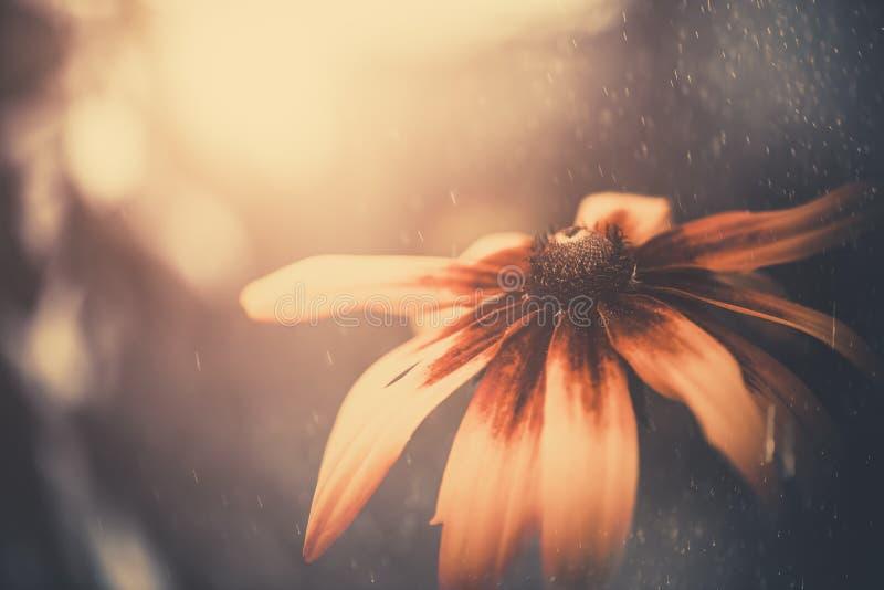 Zmierzchu kwiat fotografia royalty free