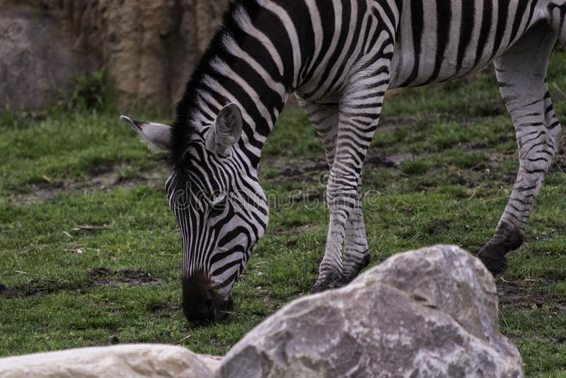 Zmonopolizowana równiny zebry Equus kwaga obraz royalty free