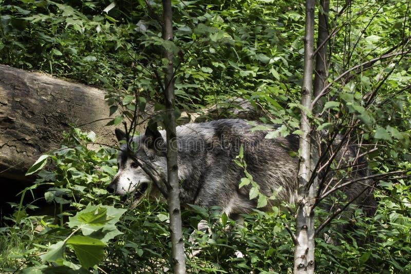 Zmonopolizowany wilk w Krajowym zoo, washington dc obraz royalty free