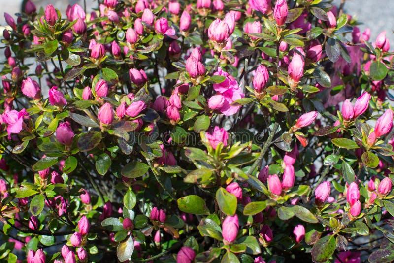 Zmrok azalii różowi kwiaty obrazy royalty free