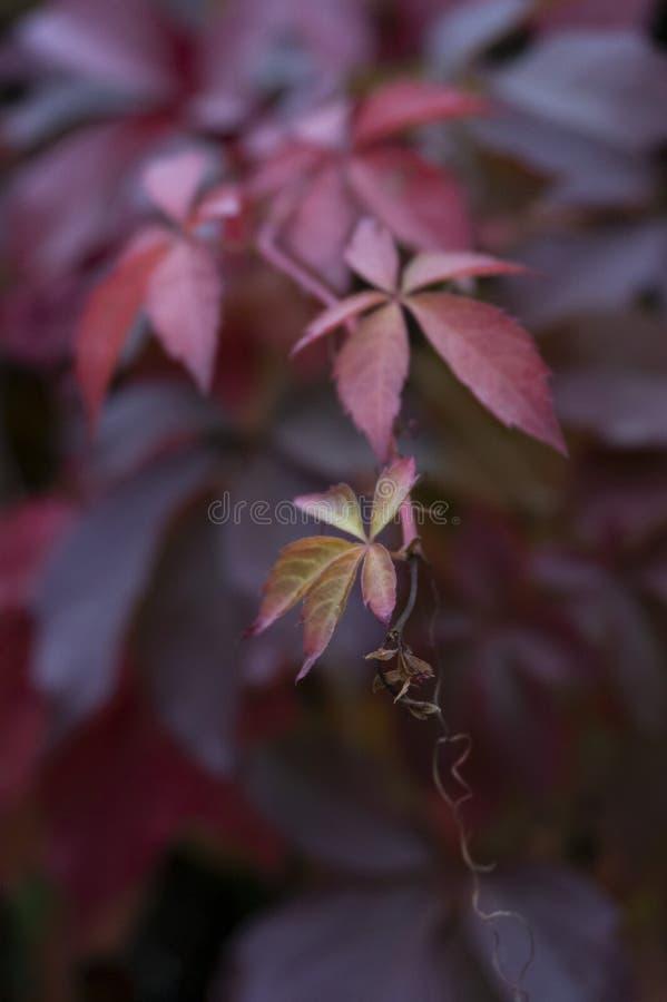 Zmrok czerwień, purpura liście z malutkim kolorem żółtym i piękni szczegóły -, Jesień nastrój, wielki dla tła i tapety zdjęcia stock