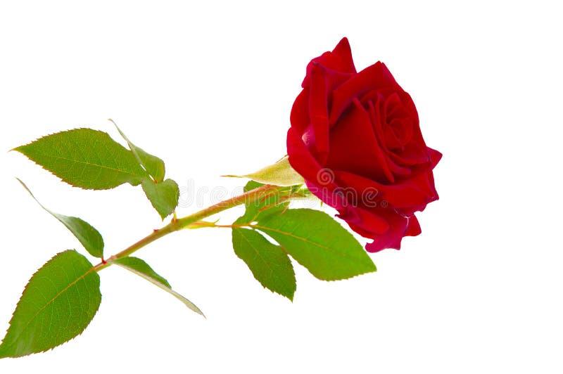 zmrok - czerwień wzrastał zdjęcie royalty free