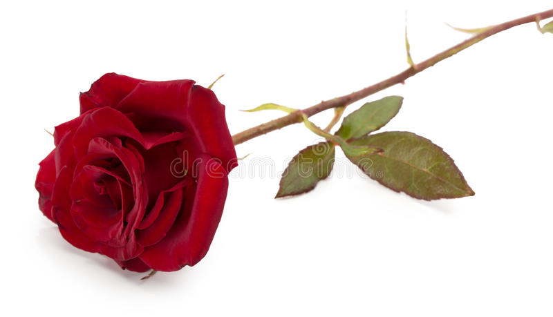 Zmrok - czerwieni róża odizolowywająca na białym tle obrazy stock