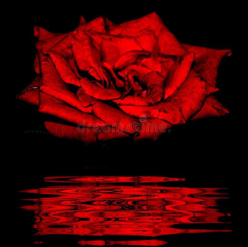 Zmrok - czerwieni róża w naturze fotografia royalty free