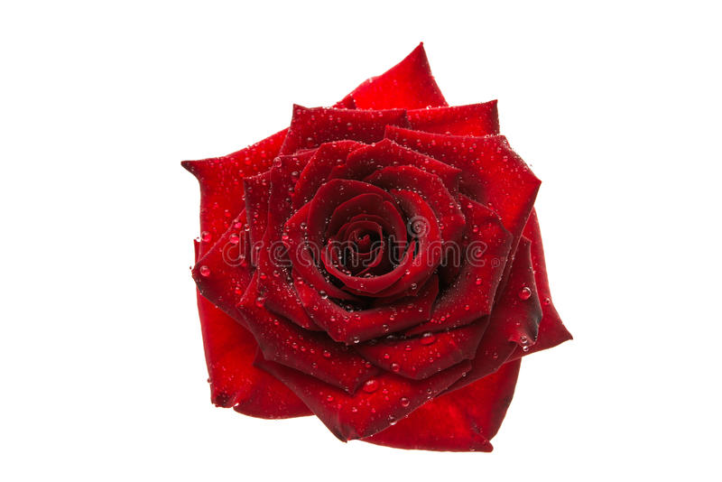 zmrok - czerwieni róża z kropelkami odizolowywać fotografia stock